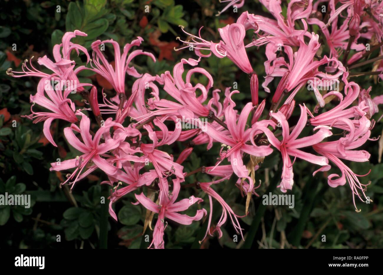 PINK NERINE FLOWERS - Stock Image