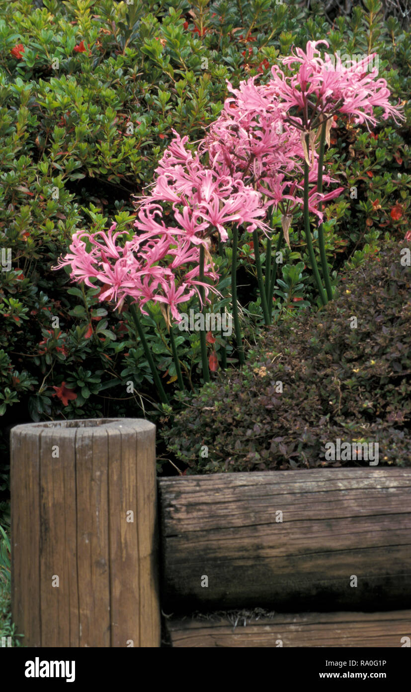 NERINE BOWDENII (PINK AGAPANTHUS OR LARGE PINK NERINES) GROWING IN GARDEN BED, AUSTRALIA - Stock Image