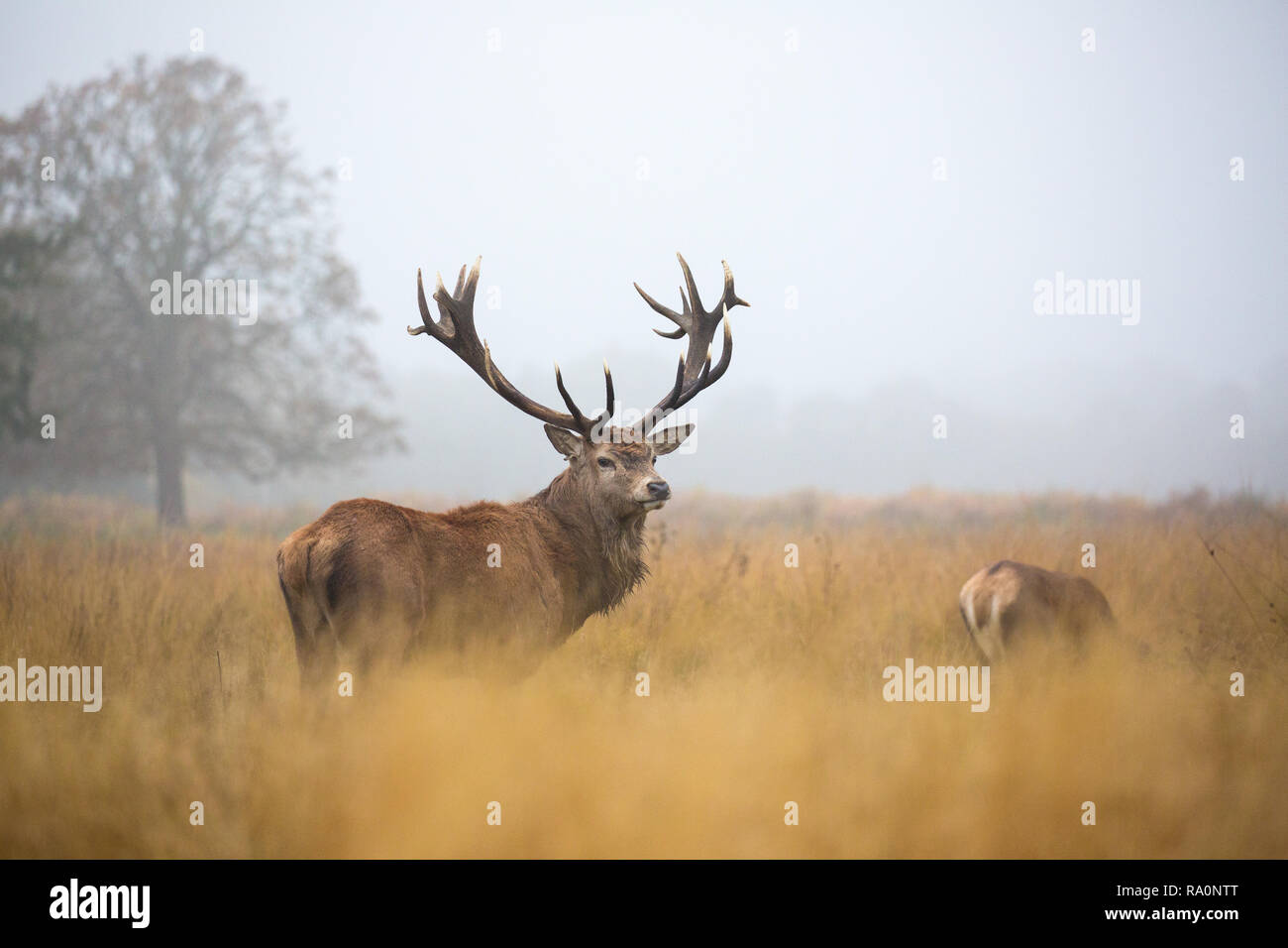 Red deer in Richmond Park during the rutting season. - Stock Image