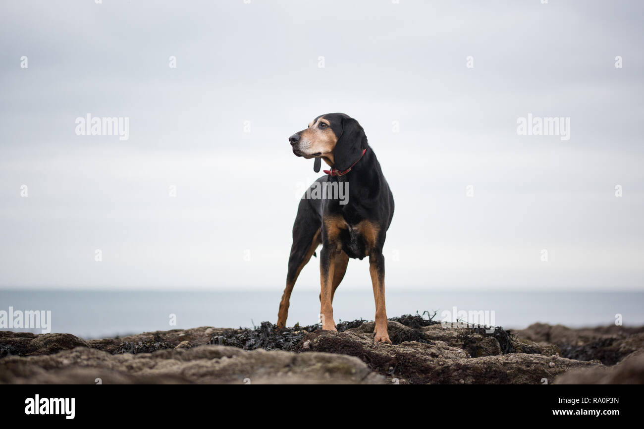 A black and tan coonhound walks on a beach in Cornwall. - Stock Image