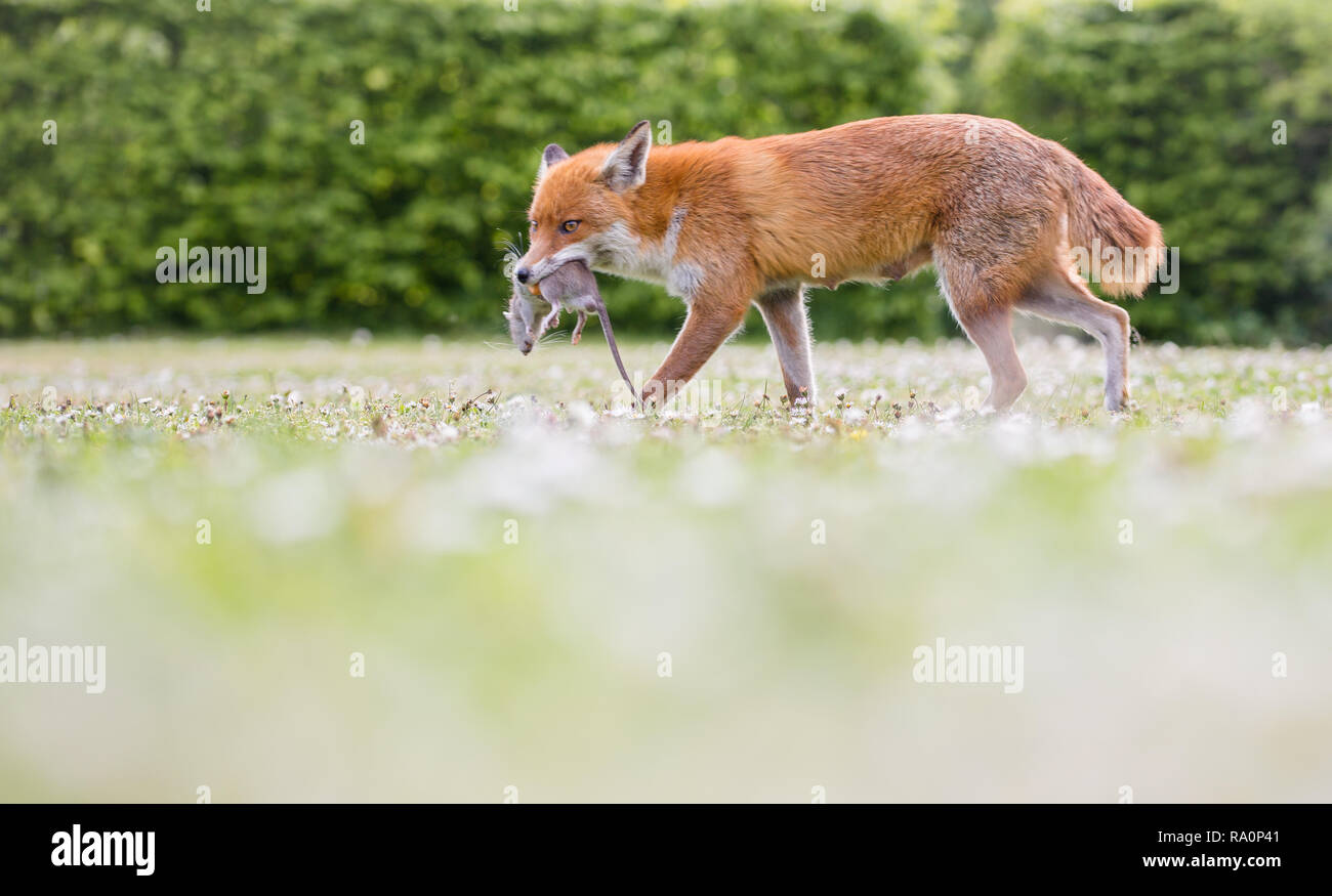 A Red fox in South West London. - Stock Image