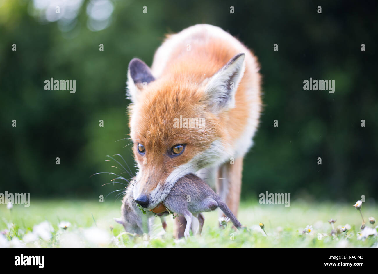 A Red fox in South West London with a freshly caught rat. - Stock Image