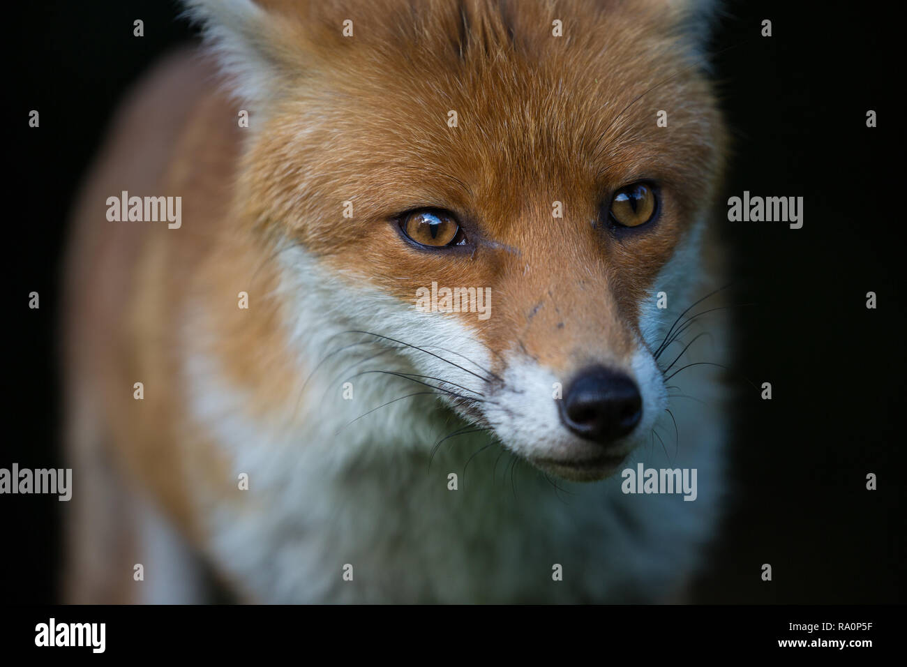 A Red fox portrait with a black background in London. - Stock Image