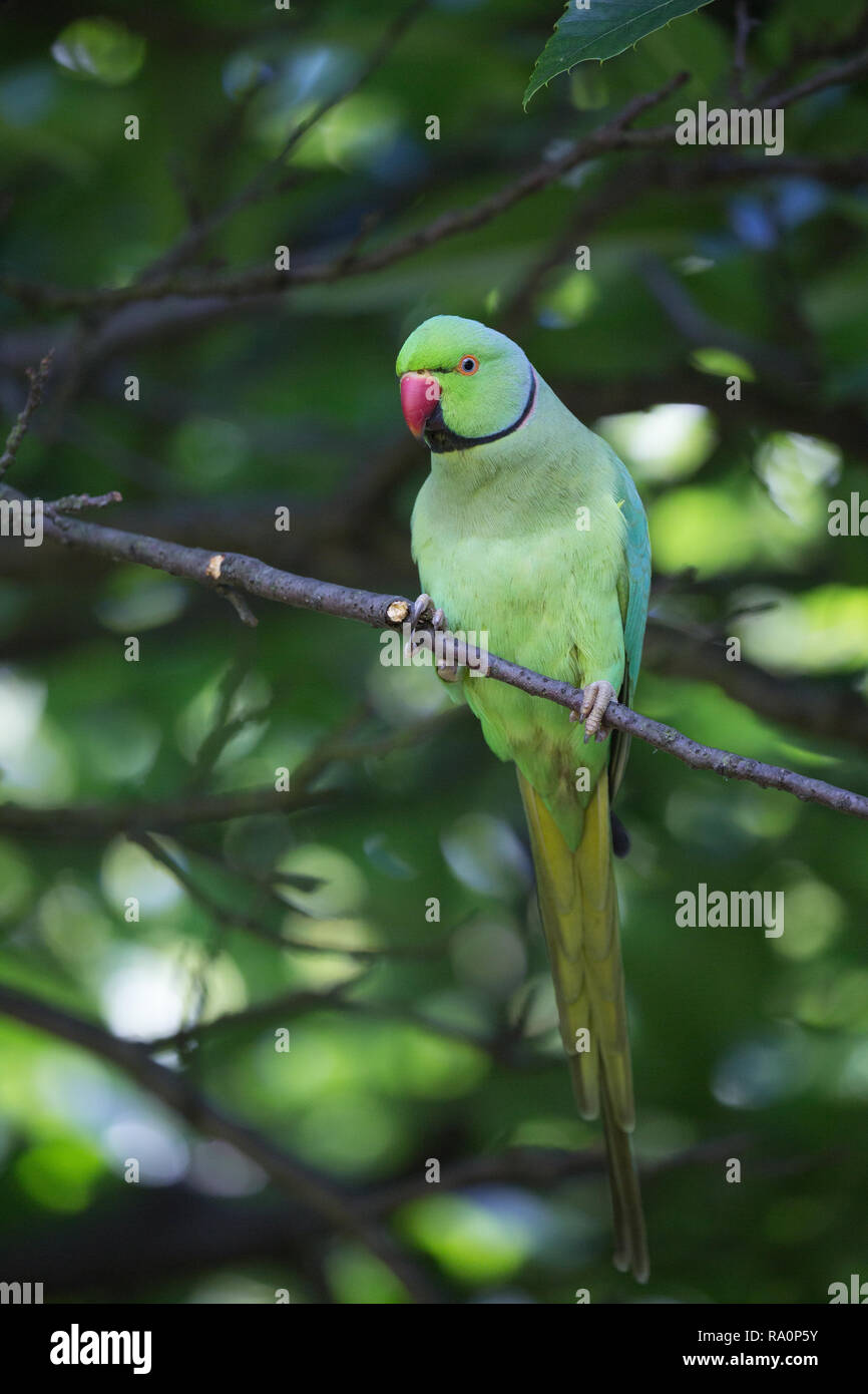 A Ring necked parakeet in Hyde Park in Central London. - Stock Image