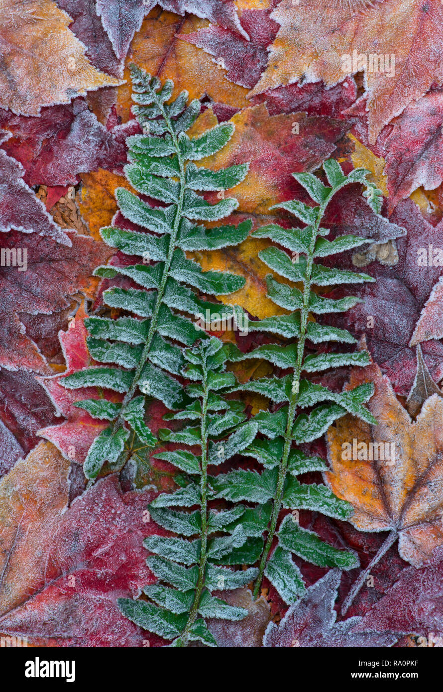 Frosted Maple Leaves (Acer rubrum) and Christmas ferns (Polystichum acrostichoides), Autumn, Eastern deciduous forest, E North America, by Skip Moody/ - Stock Image