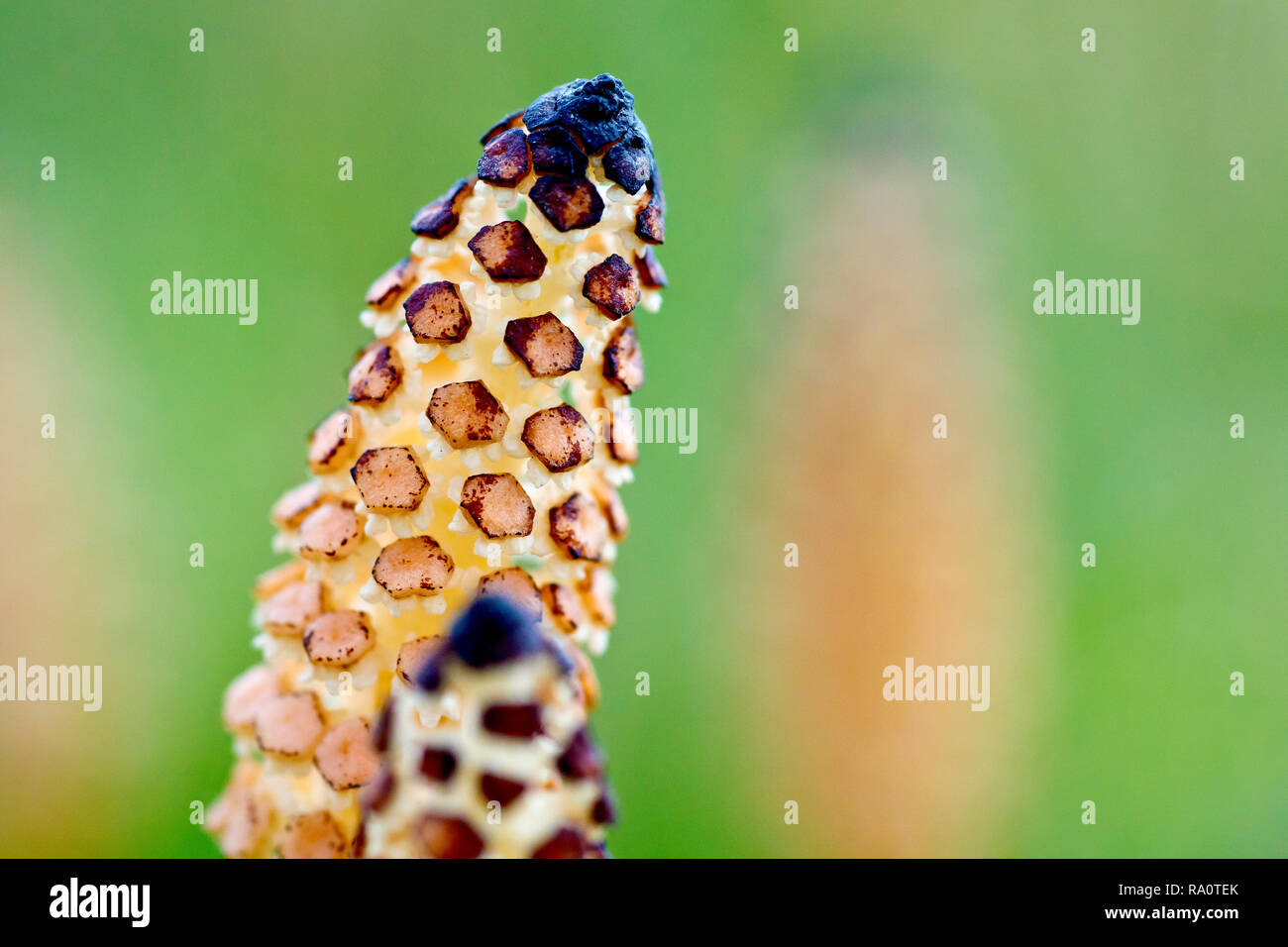 Field Horsetail (equisetum arvense), close up of the very primitive looking flowering spike with low depth of field. - Stock Image