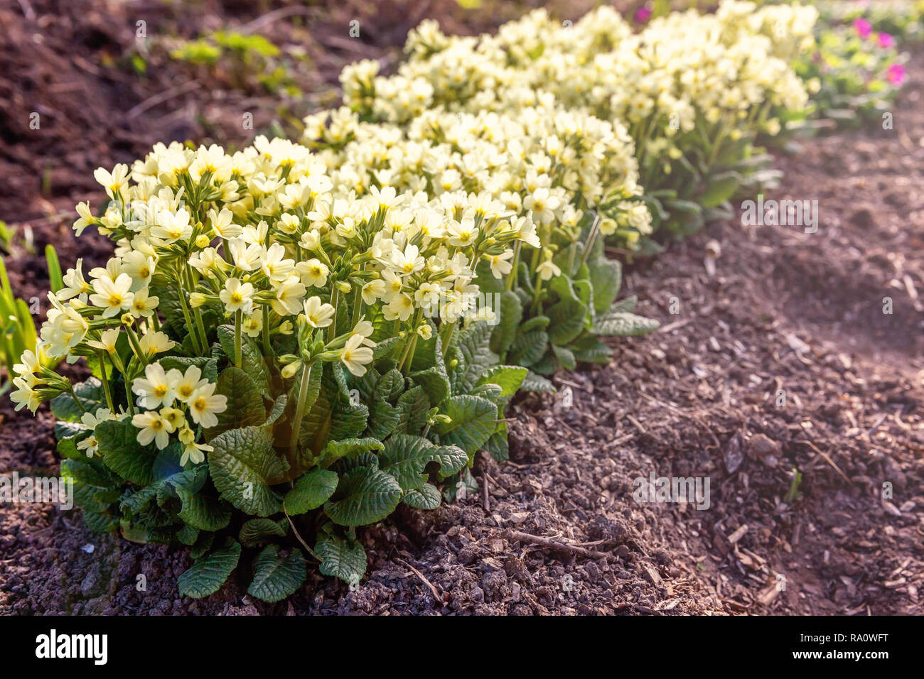Primrose - Primula vulgaris Small plant with yellow flowers among rocks leaf litter in the spring or summer garden Stock Photo