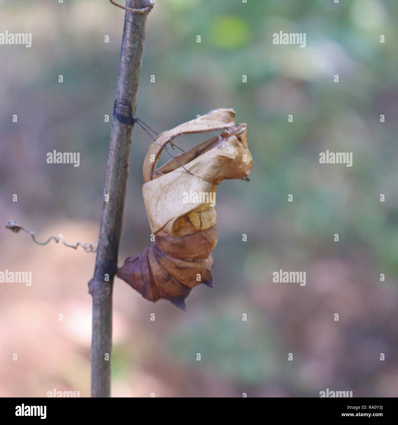 Empty pupal case of Southern Birdwing butterfly - Stock Image