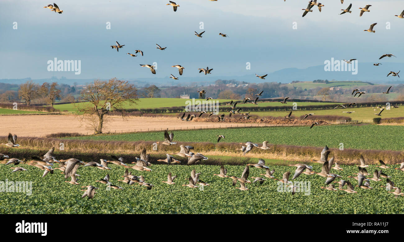A flock of Greylag Geese (anser anser) invading a young crop of Oilseed Rape in winter sunshine Stock Photo