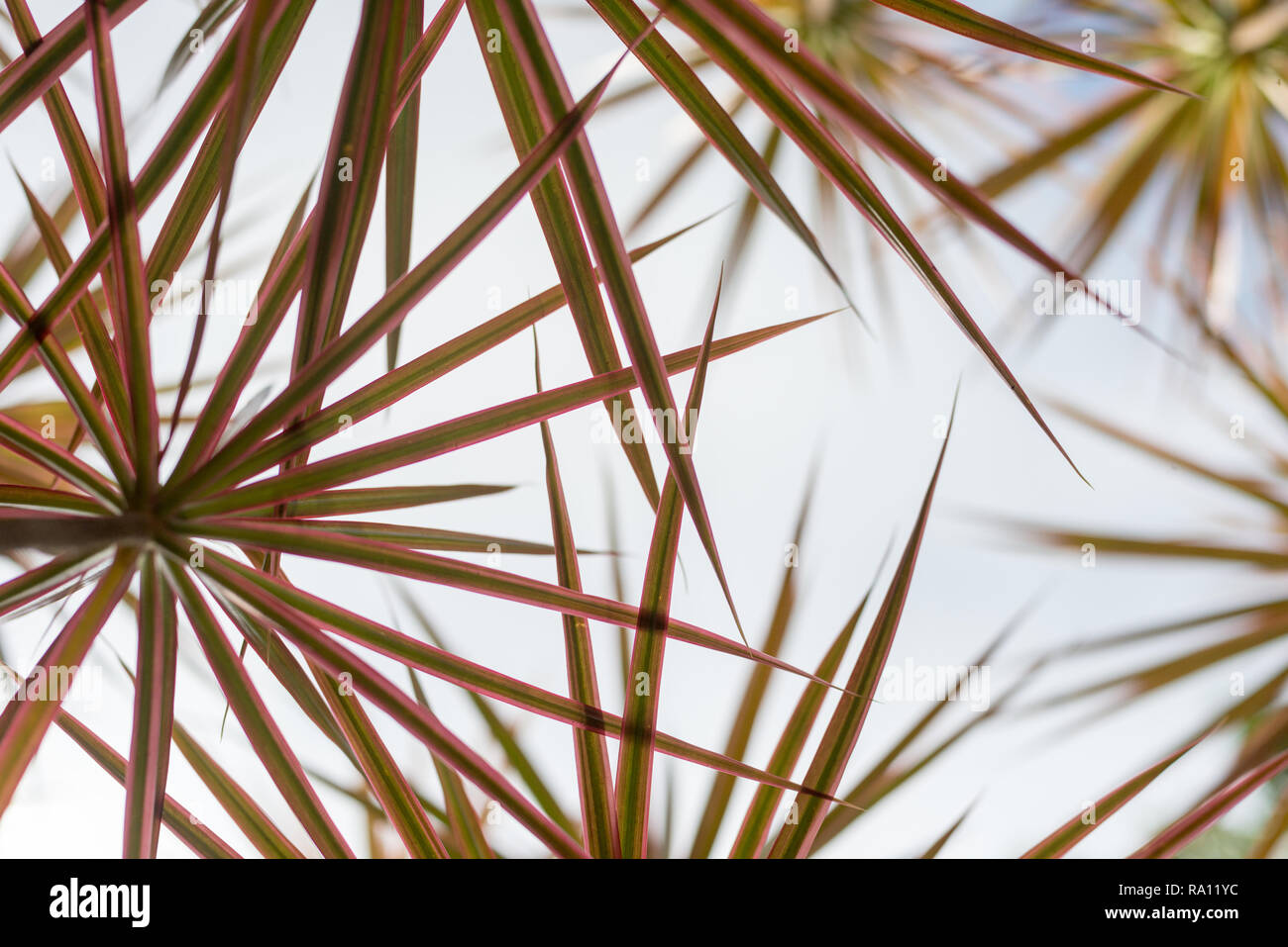 A grove of a tropical plant called Madagascar Dragon Tree (Dracaena Marginata) - upward view horizontal orientation - Stock Image
