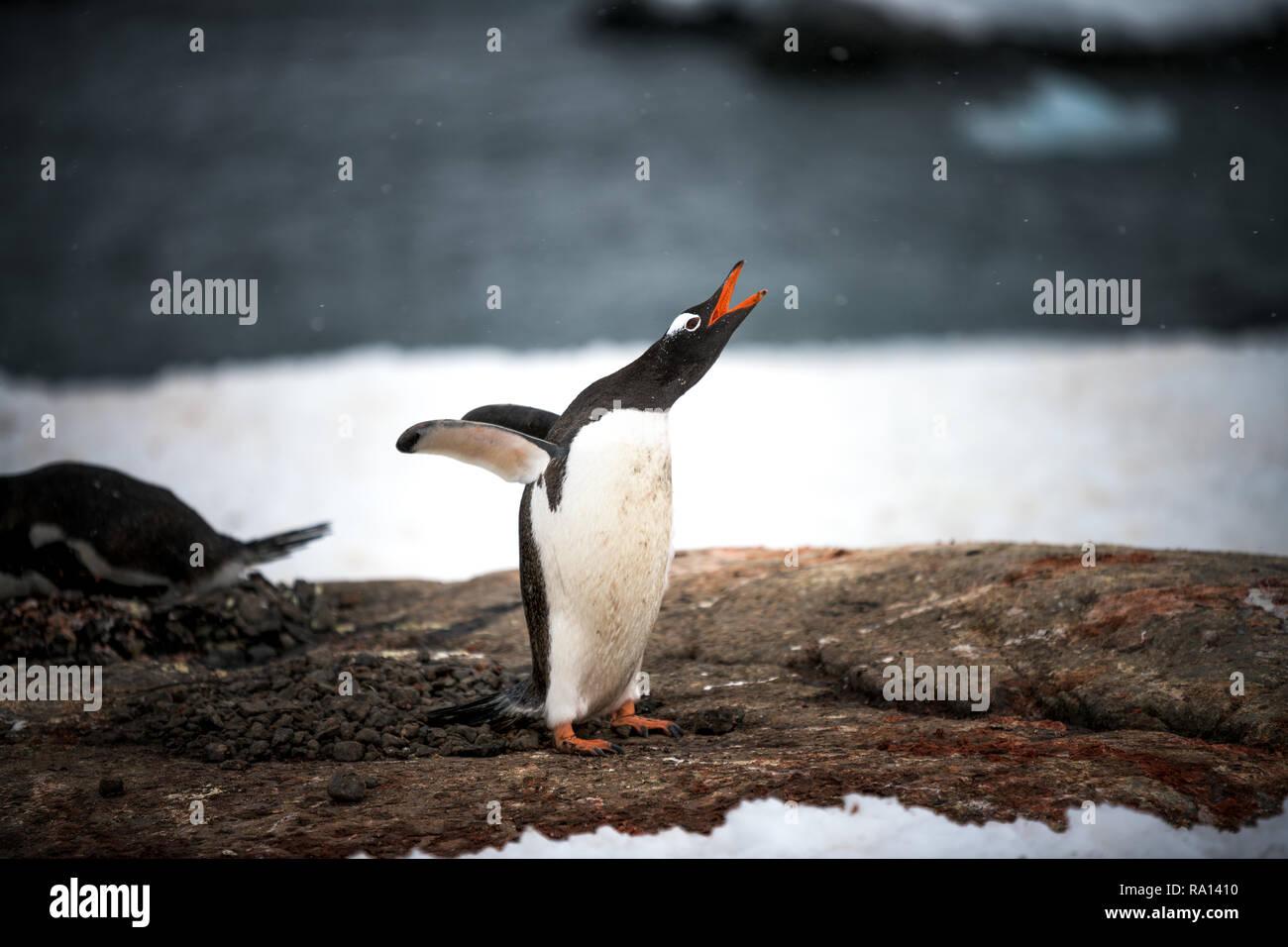 Gentoo penguin at Port Lockroy, Atnarctica - Stock Image