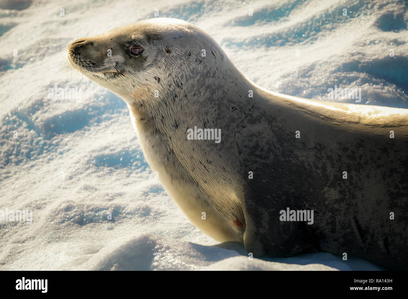 Crabeater seal at Lemaire Channel, Antarctica - Stock Image