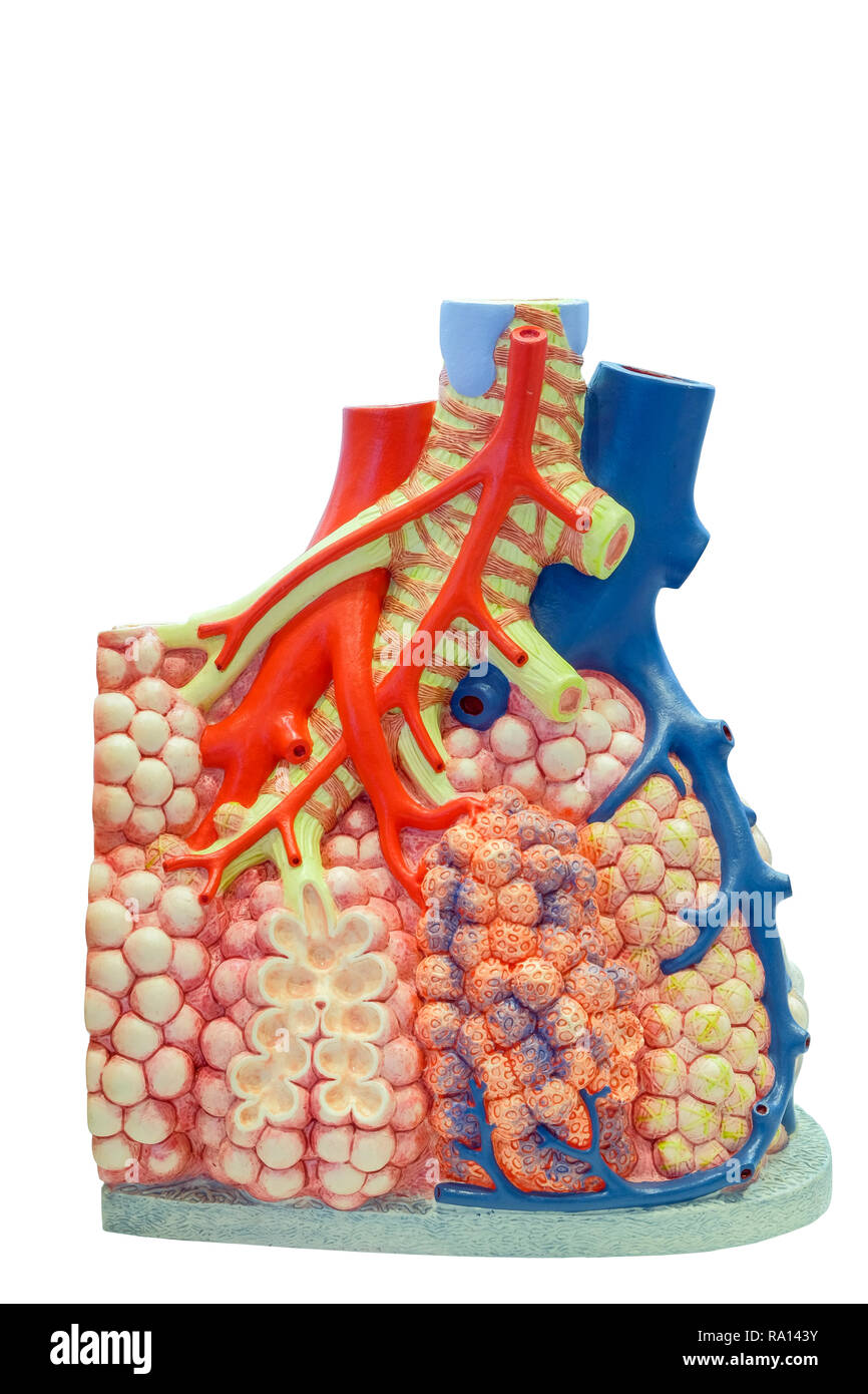 Anatomical model of the pulmonary and blood vessels of the human body for use in medical education, isolated on white background. - Stock Image