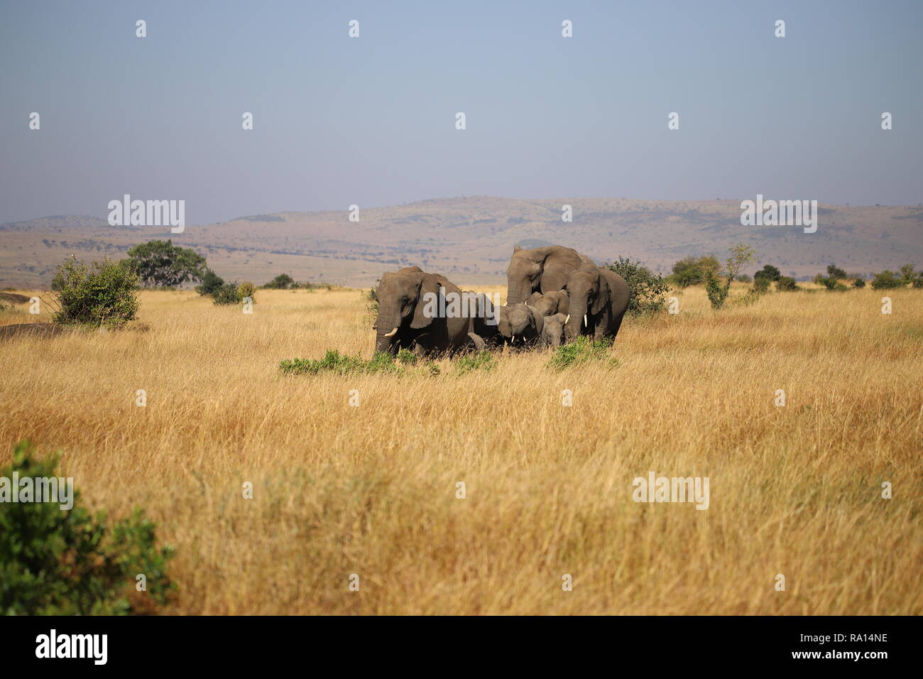Group of African bush elephants in the Maasai Mara in Kenya - Stock Image