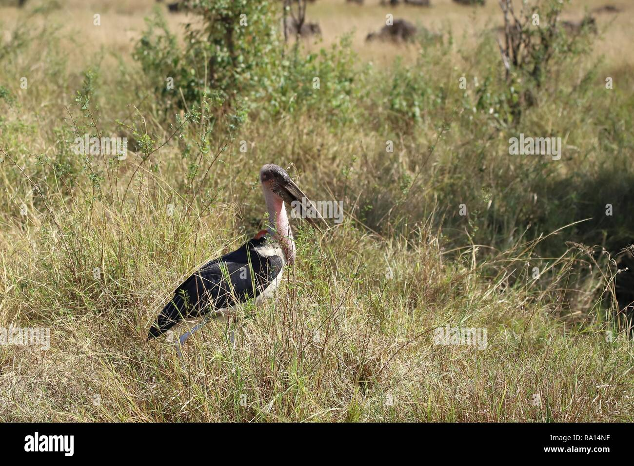 Marabou stork which is standing in the grass of the Masai Mara - Stock Image