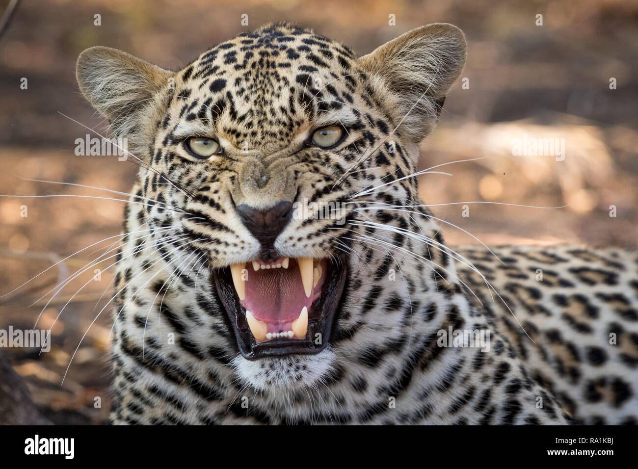 Stunning looking male leopard snarling at nearby safari vehicle. - Stock Image