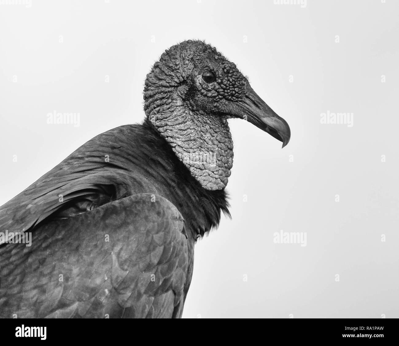Black vulture stock image