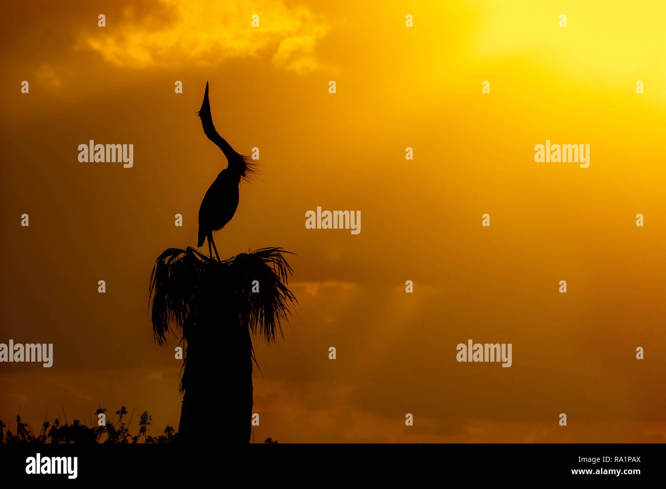 A great blue heron cranes his neck to the sky during sunset. - Stock Image