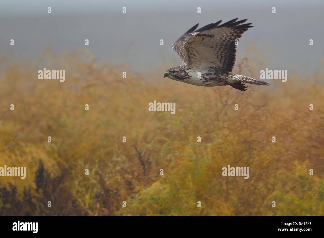 Common Buzzard (Buteo buteo) flying, Hesse, Germany - Stock Image