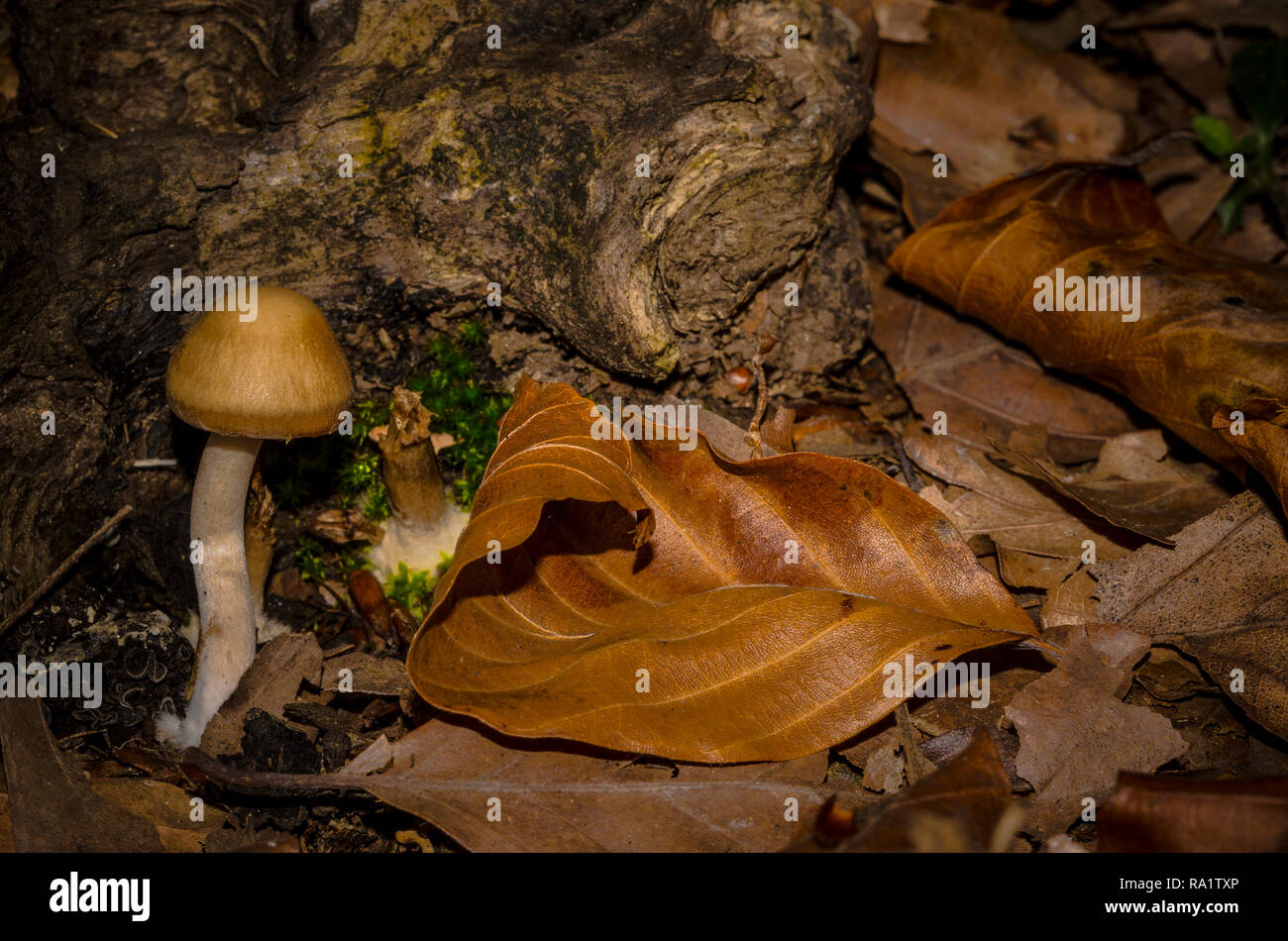 Mushroom hidden in the green moss in the middle of the woods - Stock Image