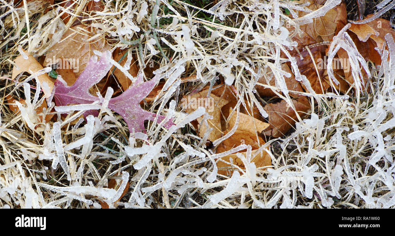 Frozen autumn leaves after an ice storm in Alpine, Texas Stock Photo