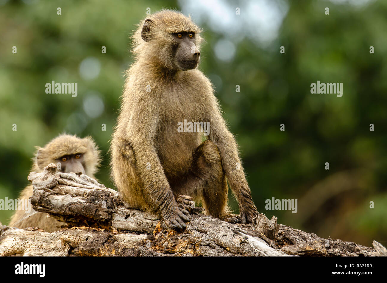 Olive baboons (Papio anubis) in Tanzania, Africa Stock Photo
