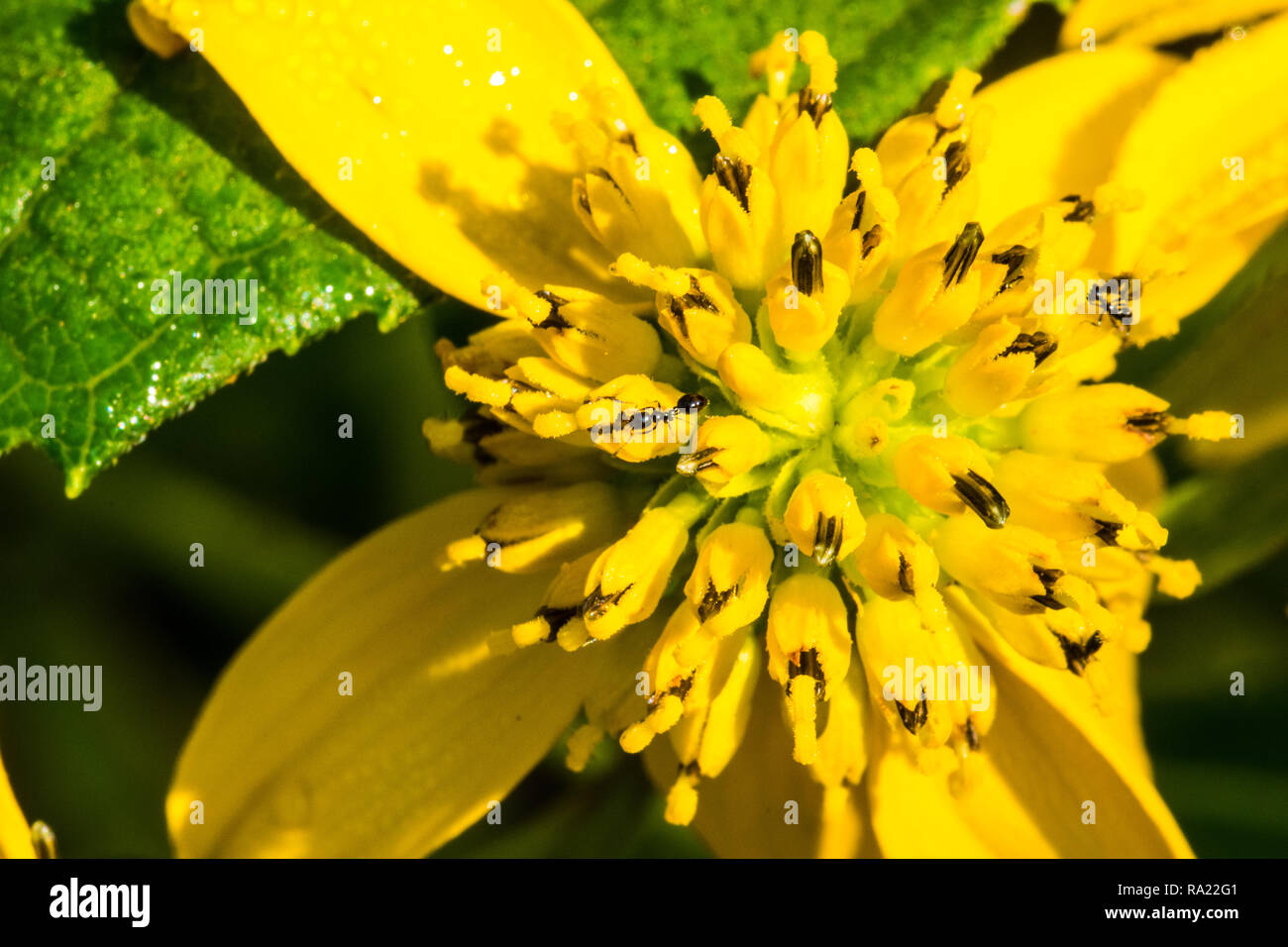 Wildflower pollinator Rudbeckia lanciniata with ants feeding on stamens - Stock Image