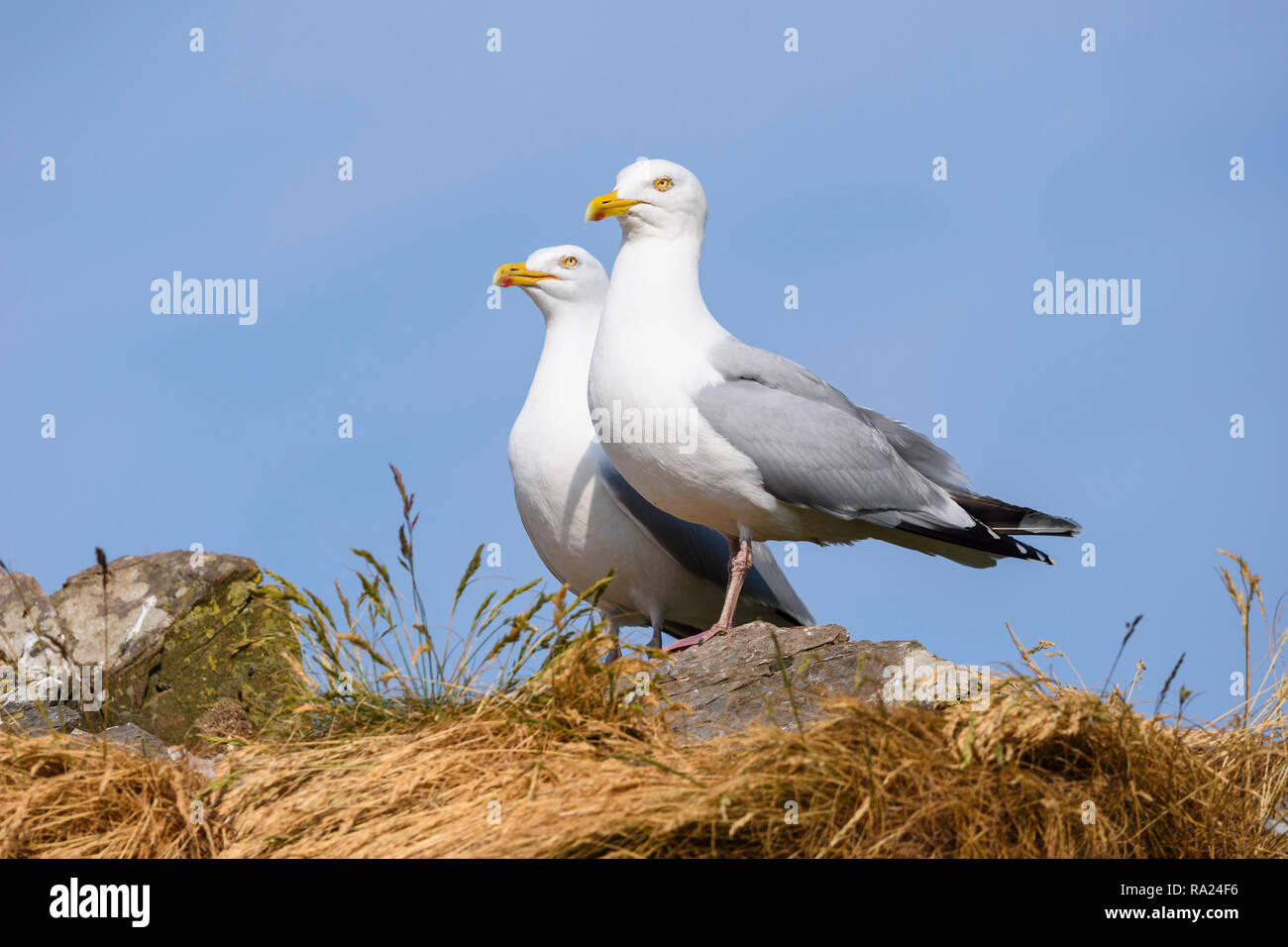 Herring Gull, Larus argentatus, Murray Isles, Solway Firth, Dumfries & Galloway, Scotland - Stock Image