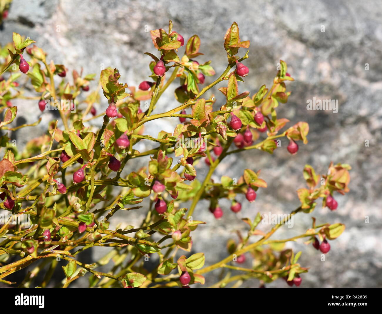 Blueberry Plant Flowers High Resolution Stock Photography And Images Alamy