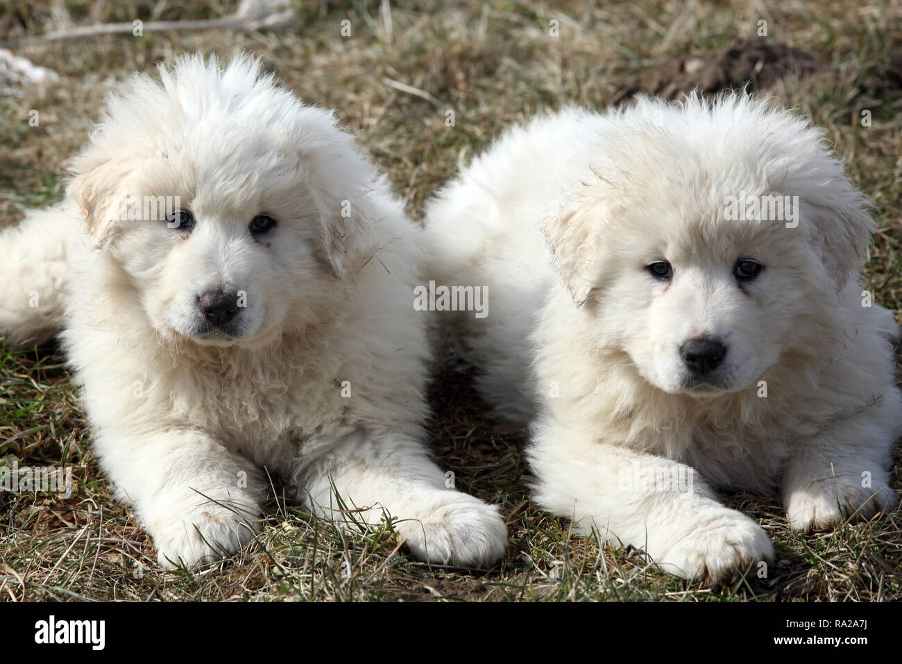 Schutzhunde High Resolution Stock Photography And Images Alamy