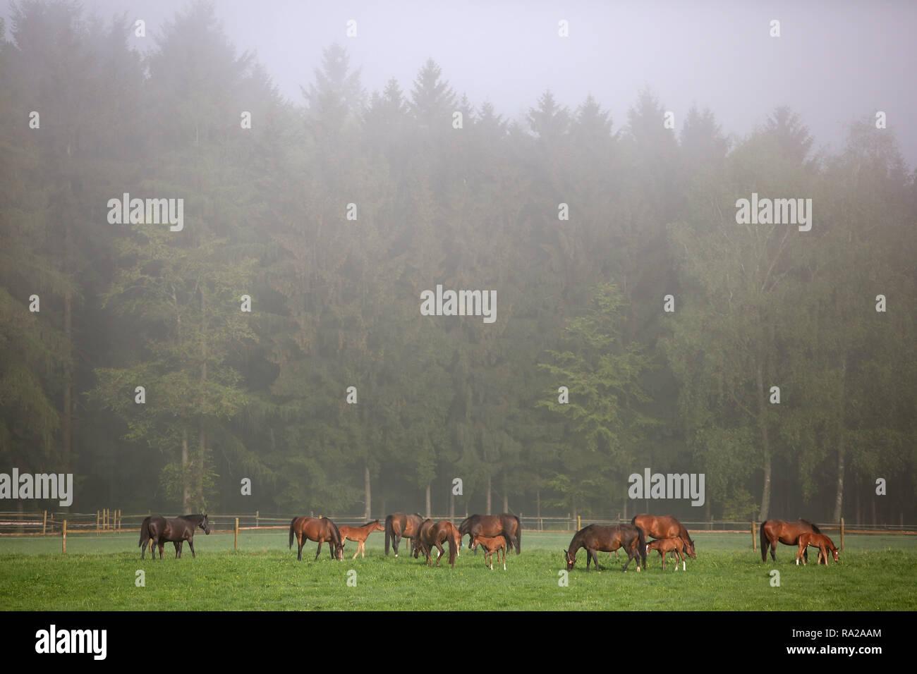 24.04.2018, Hessen, Gestuet Etzean, Stuten und Fohlen bei Nebel auf der Weide. 00S180424D156CARO.JPG [MODEL RELEASE: NOT APPLICABLE, PROPERTY RELEASE: - Stock Image