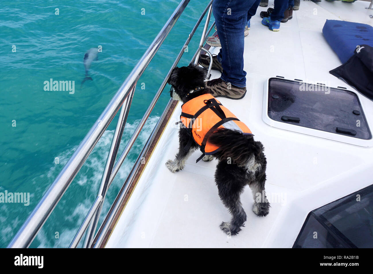 Buster, the Dolphin-Spotting Dog on the Job during a Harbour Cruise in Akaroa, New Zealand - Stock Image