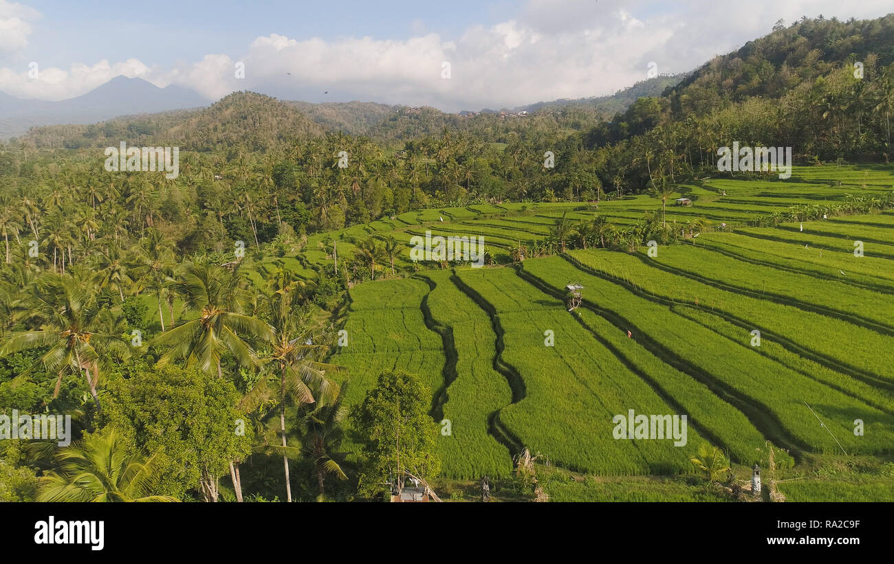 green rice terraces, fields and agricultural land with crops. aerial view farmland with rice terrace agricultural crops in countryside Indonesia,Bali - Stock Image