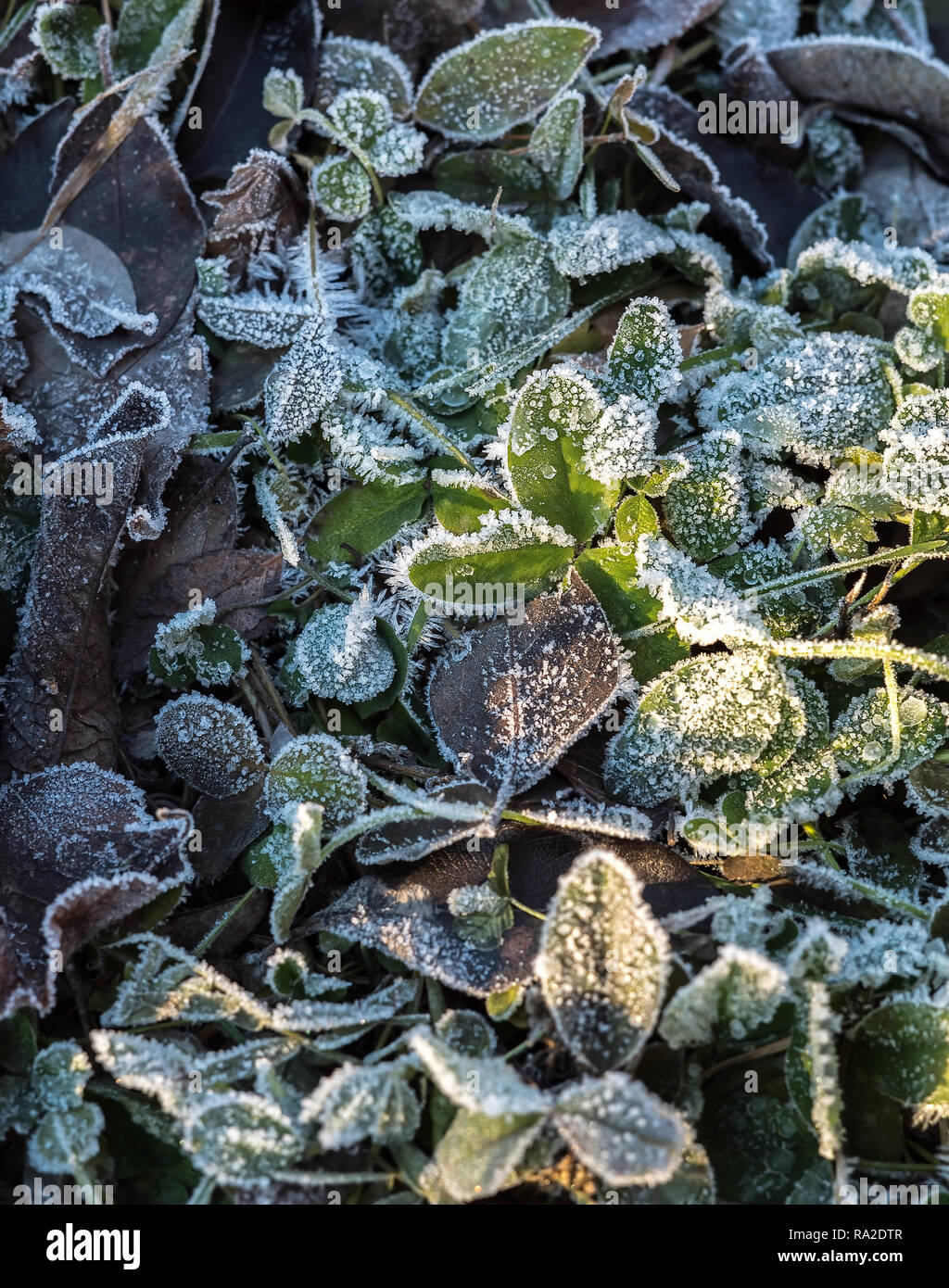Detail of many different frozen and iced crisp leaves on the ground covered in frosted hoar frost a cold fresh winter morning - Stock Image