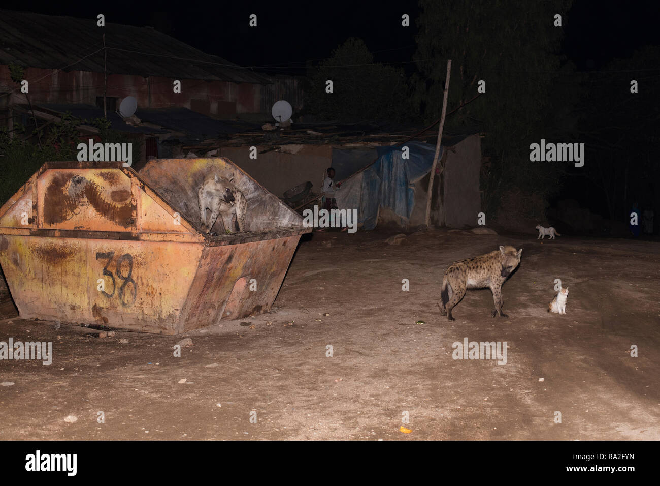 Harar / Ethiopia - May 2017: Wild hyenas entering the town of Harar at night and looking for food. - Stock Image