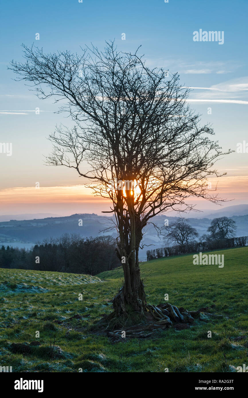 Winter on Stonewall Hill near Knighton, Powys, UK, on the Welsh borders. An old hawthorn tree silhouetted against the setting sun - Stock Image