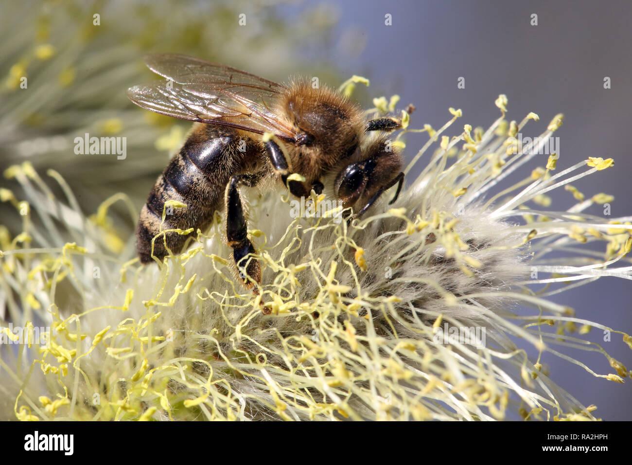 08.04.2018, Brandenburg, Briescht, Deutschland, Europaeische Honigbiene sammelt Nektar aus einem bluehenden Weidenkaetzchen der Salweide. 00S180408D27 Stock Photo