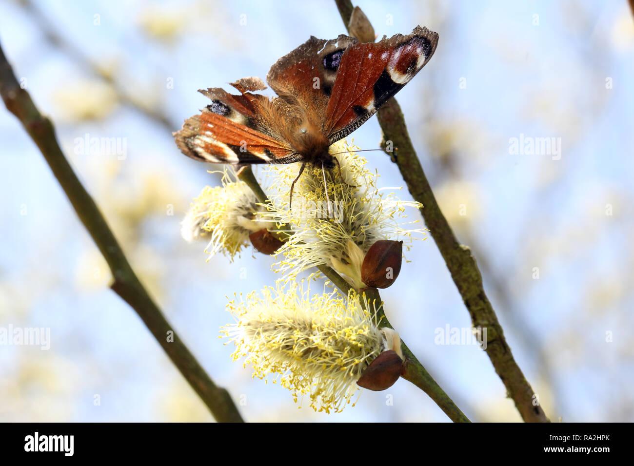 08.04.2018, Brandenburg, Briescht, Deutschland, Tagpfauenauge sammelt Nektar aus einem bluehenden Weidenkaetzchen der Salweide. 00S180408D271CARO.JPG  Stock Photo