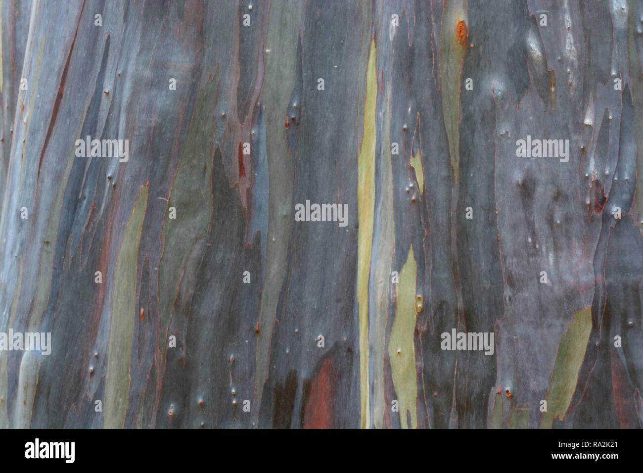 Rainbow Eucalyptus Tree - Stock Image