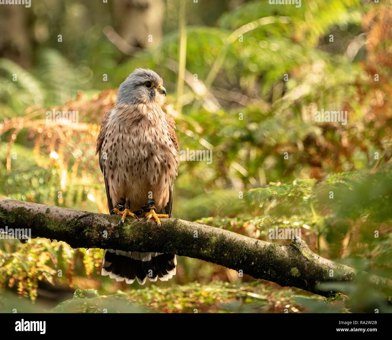 Uk Sherwood Forrest Nottinghamshire Birds Of Prey Event Stock Photo Alamy