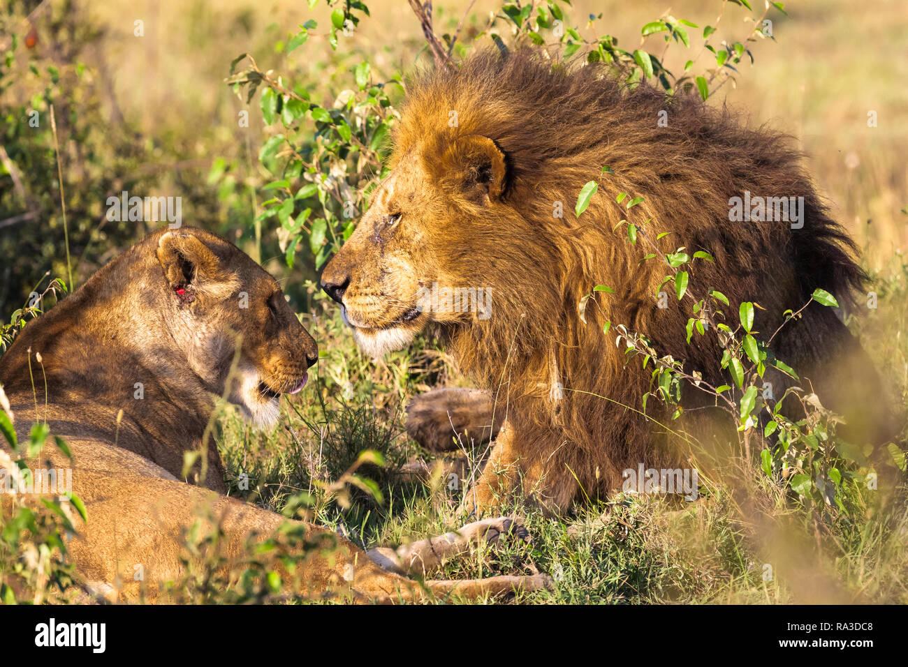 Loving couple. Lions in the savannah. Masai Mara, Kenya - Stock Photo