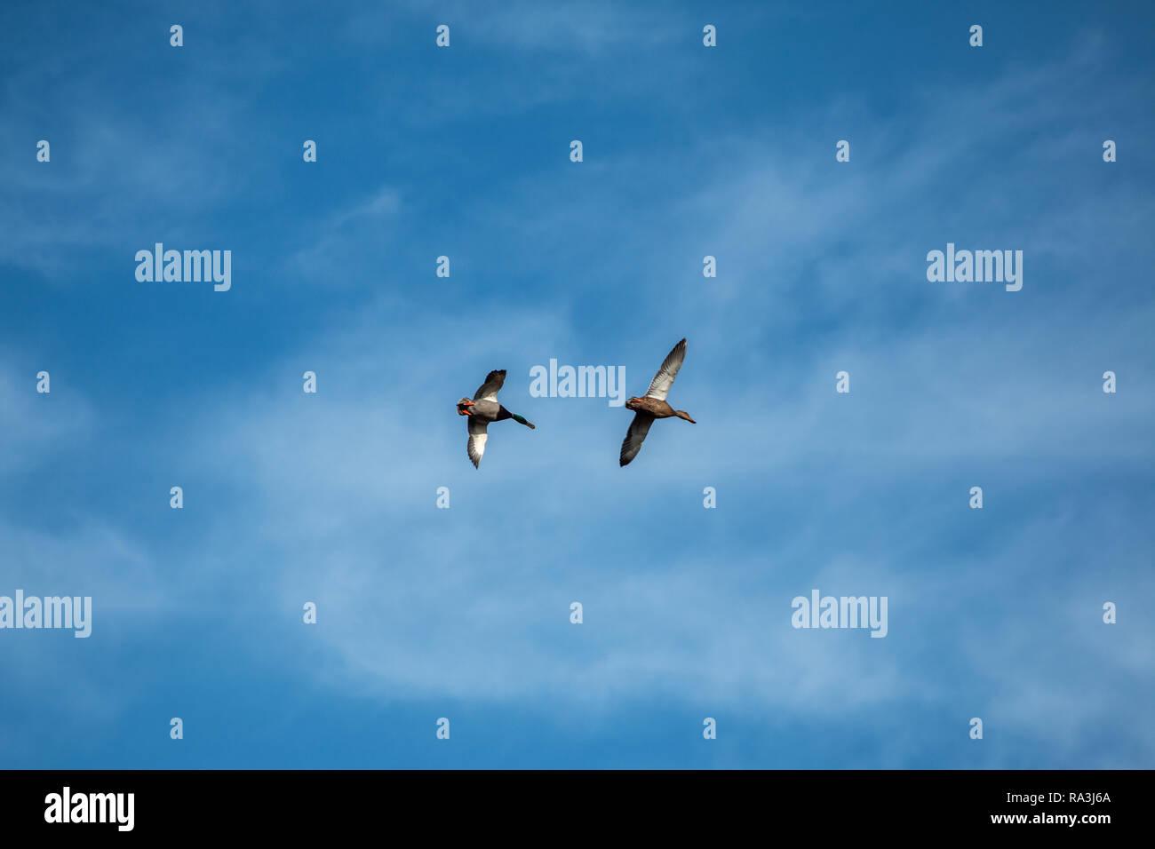 male and female mallard ducks in flight - Stock Image