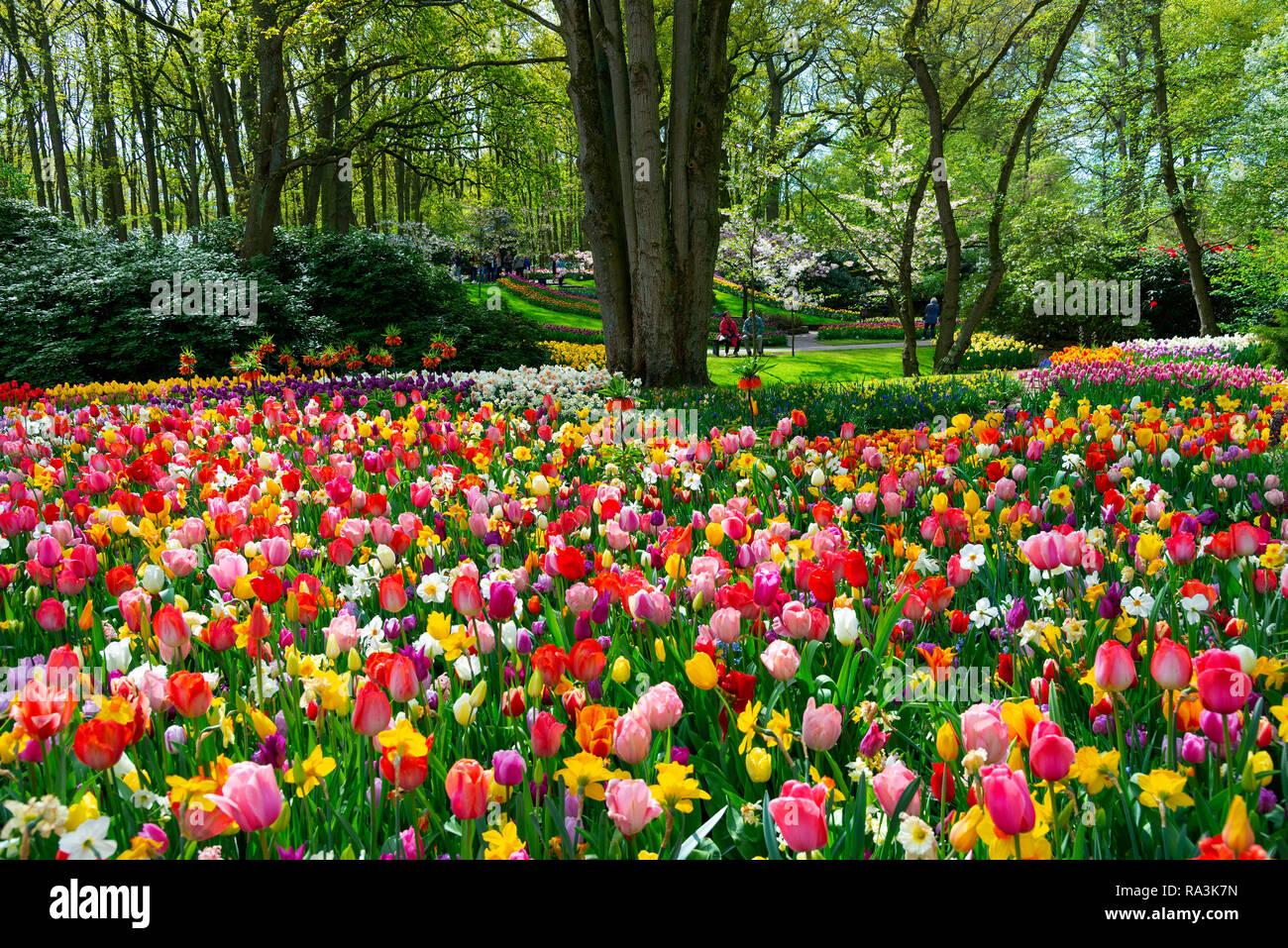 Spectacular display of spring flowering bulbs at the world's largest bulb flower garden Keukenhof Gardens in April 2018, Lisse,Holland,The Netherlands - Stock Image