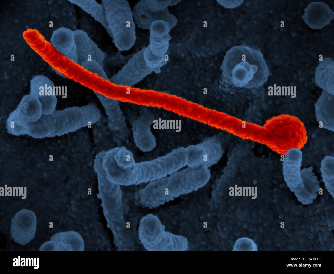 A scanning electron micrograph of Ebola virus Makona (in red) from the West African epidemic shown on the surface of Vero cells (blue). Early during the recent Ebola epidemic in West Africa, scientists speculated that the genetic diversity of the circulating Makona strain of virus (EBOV-Makona) would result in more severe disease and more transmissibility than prior strains. However, using two different animal models, National Institutes of Health scientists have determined that certain mutations stabilized early during the epidemic and did not alter Ebola disease presentation or outcome. - Stock Image