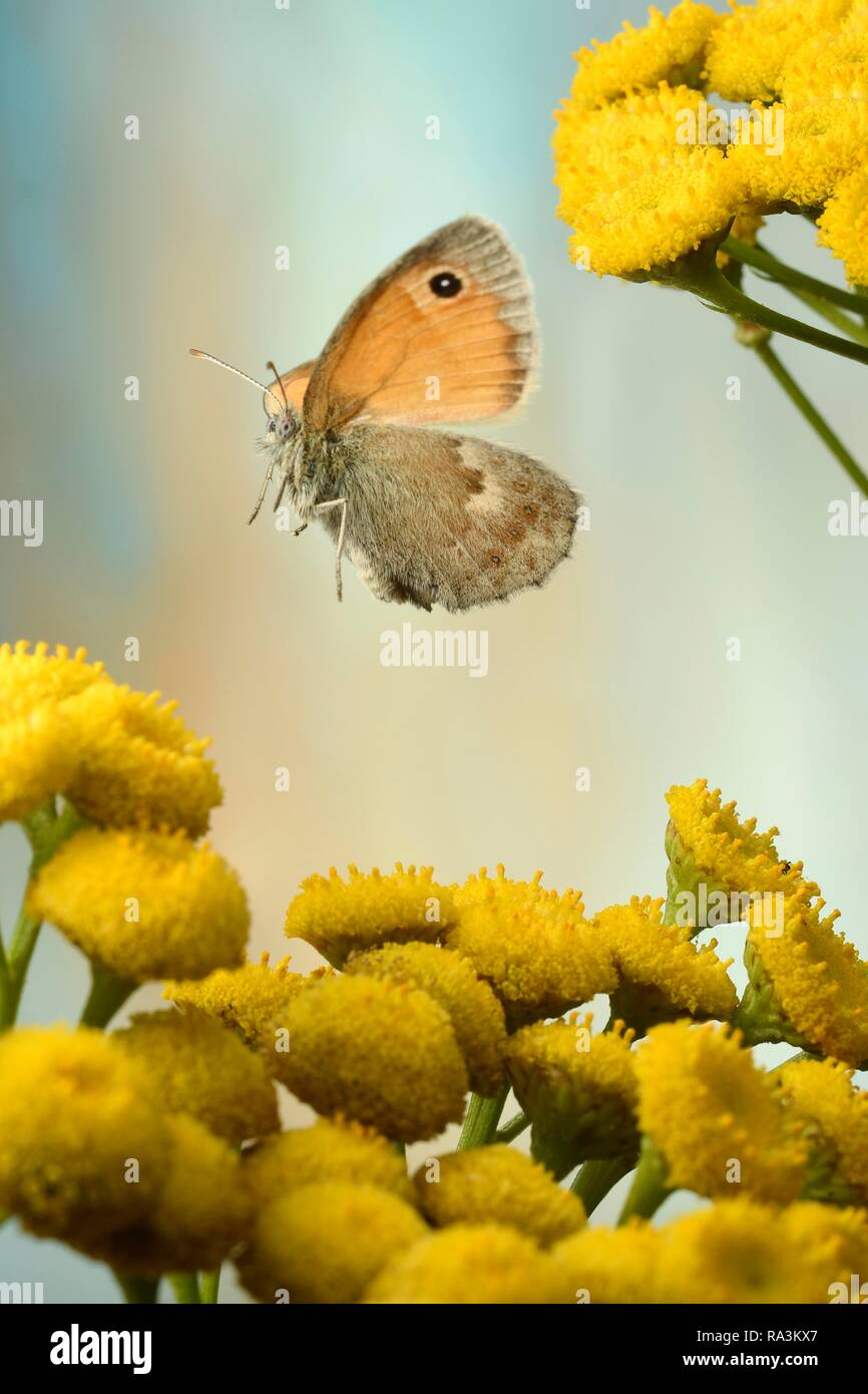 Small heath (Coenonympha pamphilus), in flight on flowers from Tansy (Tanacetum vulgare), Germany - Stock Image