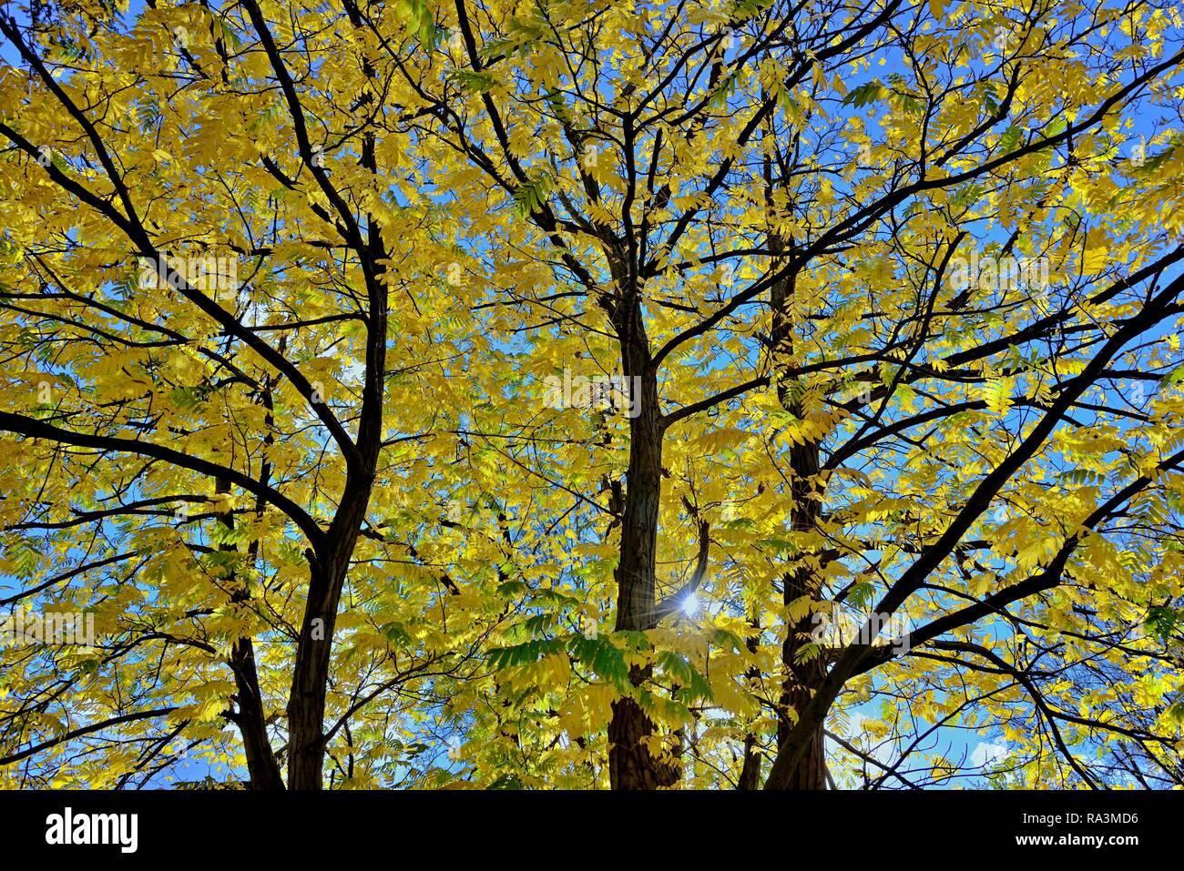 Caucasian wingnut (Pterocarya fraxinifolia), treetops with autumn leaves against a blue sky, North Rhine-Westphalia, Germany - Stock Image