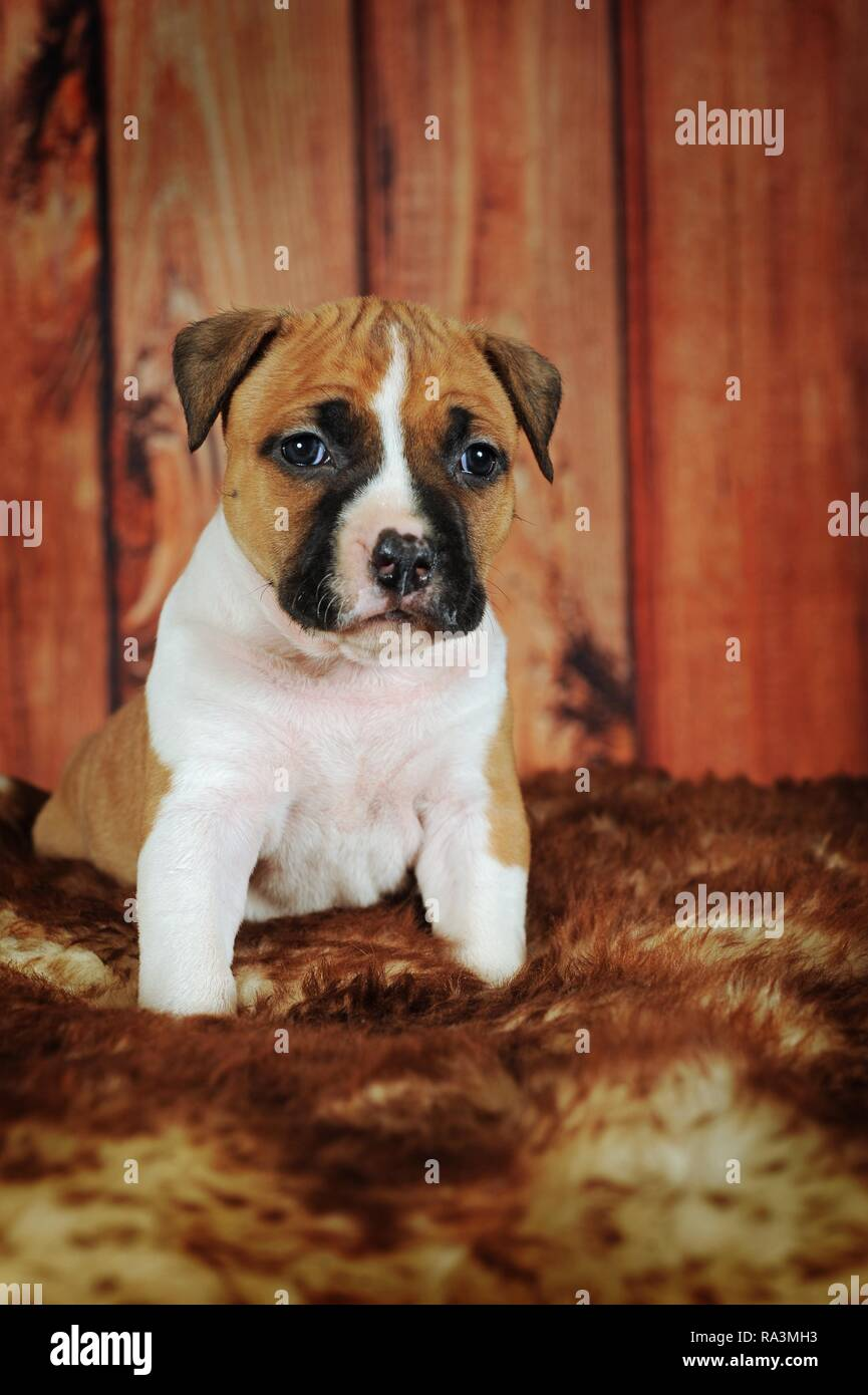 American Staffordshire Terrier, puppy 4 weeks, red-white, sits on fur blanket, Austria - Stock Image