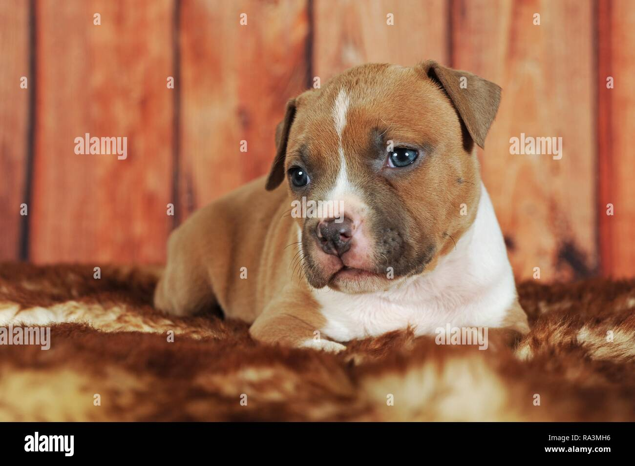 American Staffordshire Terrier, puppy 4 weeks, red-white, lies on fur blanket, Austria - Stock Image
