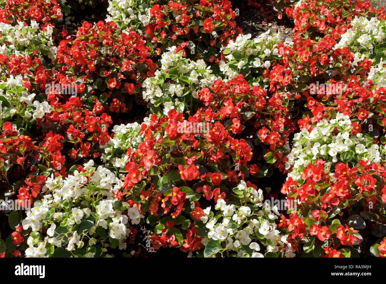 Wax begonia (Begonia x semperflorens-cultorum), white and red, Germany Stock Photo