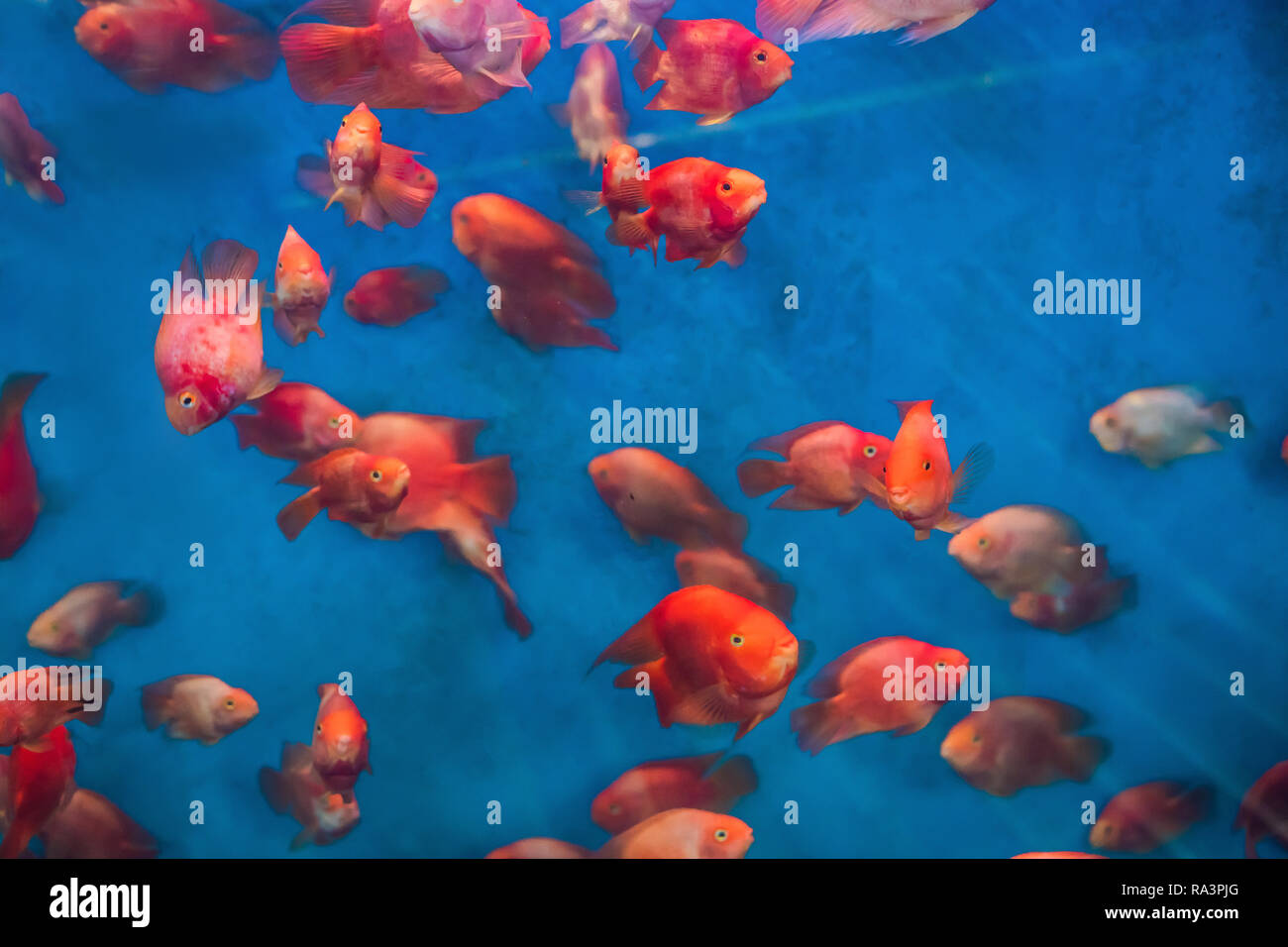 Many red fish in a blue aquarium Stock Photo